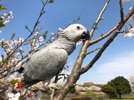 引地川親水公園の桜とヨウム