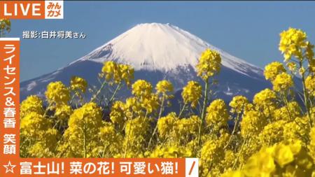 AbemaTV 菜の花と富士山