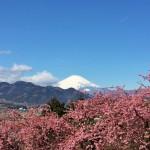 まつだ桜まつり2015