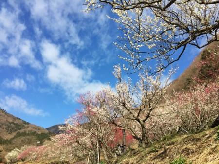 湯河原梅林 梅の宴2015