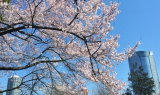 青山霊園の桜と六本木ヒルズ