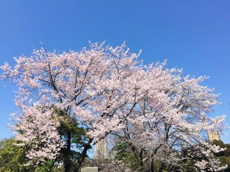 青山霊園の桜20150327