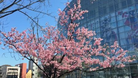 毛利庭園の桜20150327