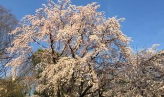 六義園の枝垂桜2015