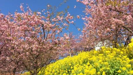 まつだ桜まつり2016
