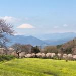 「蜂花苑」の桜と富士山