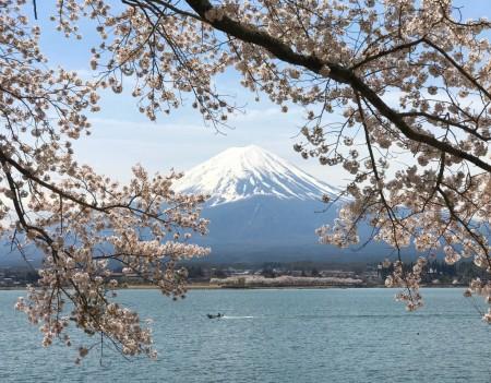 河口湖長崎公園の桜と富士山