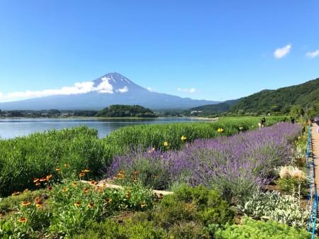河口湖ハーブフェスティバル ハーブとブルーベルーソフトと富士山