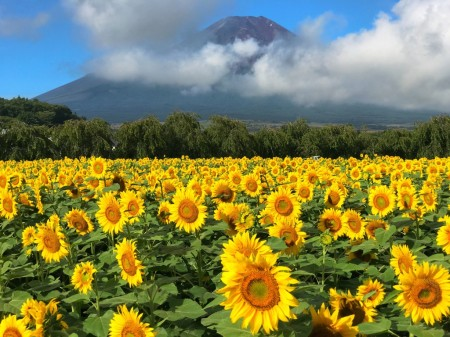 山中湖花の都公園 第二ゲート付近のひまわりと富士山