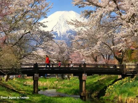 忍野八海 新名庄川沿いの桜と富士山