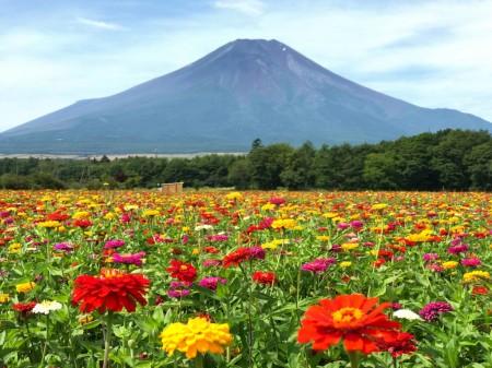 山中湖花の都公園 百日草と富士山