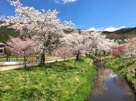 忍野八海 新名庄川沿いの桜