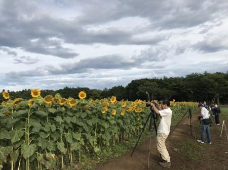 山中湖花の都公園 ひまわりと富士山