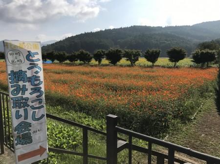 山中湖花の都公園 黄花コスモス