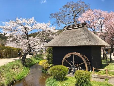 忍野八海 桜と水車小屋