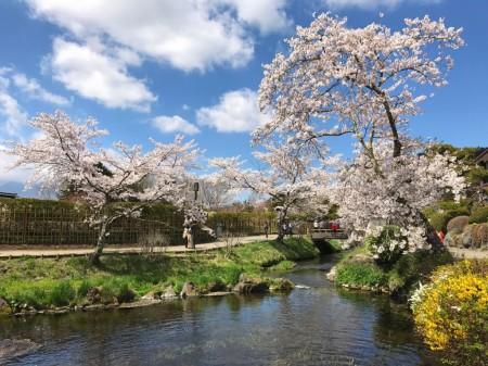 忍野八海 濁池と桜