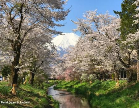 忍野村お宮橋の桜と富士山