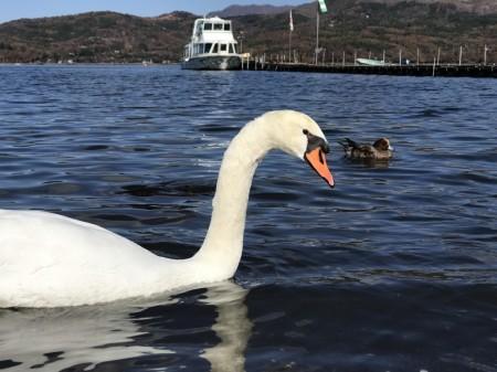 旭日丘湖畔緑地公園の白鳥