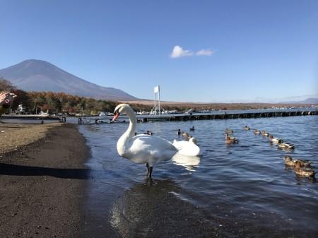 旭日丘湖畔緑地公園の白鳥と富士山