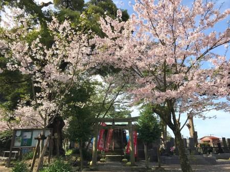 鎌倉光明寺の繁栄稲荷大明神と桜