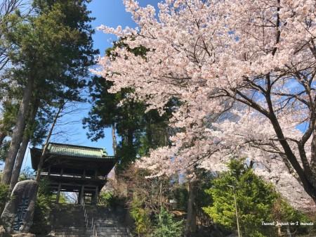 富士吉田の正福寺と桜