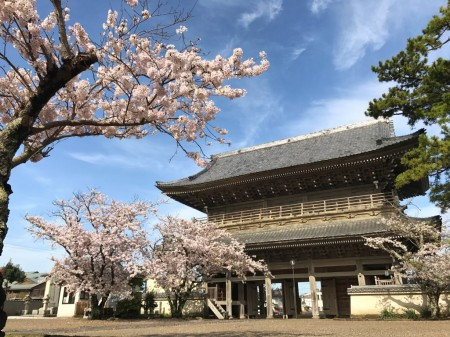 鎌倉光明寺の山門と桜