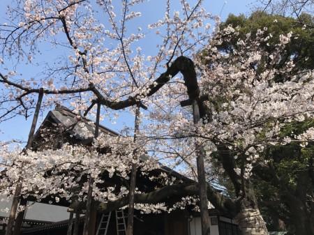 靖国神社 能楽堂の桜