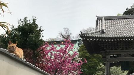 鎌倉光明寺の猫と桜