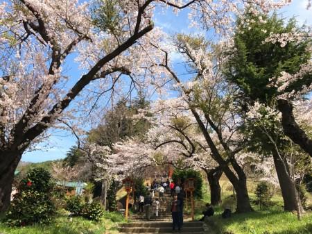 新倉山浅間公園の桜と遊歩道