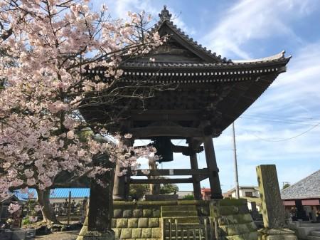 鎌倉光明寺の鐘楼と桜