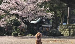 鎌倉光明寺の桜とトイプードル