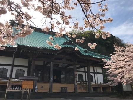 鎌倉光明寺の大殿と桜