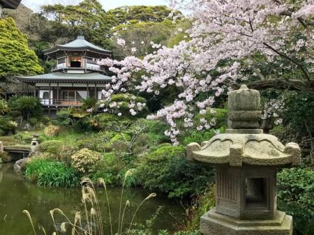 鎌倉光明寺の記主庭園と桜