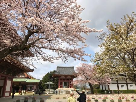 池上本門寺の桜