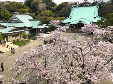鎌倉光明寺の山門の上から桜