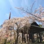 増上寺の鐘楼堂と桜、東京タワー