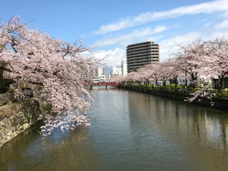 小田原城のお堀と桜
