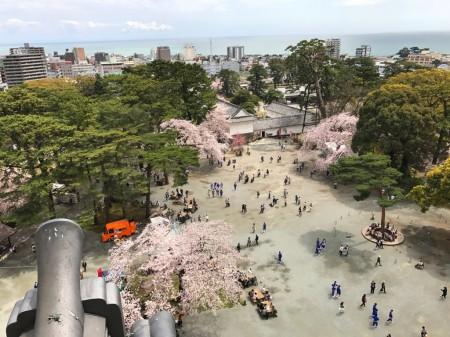 小田原城天守閣展望デッキから桜