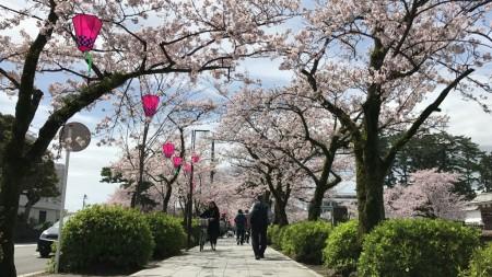 小田原城のお堀端の道と桜