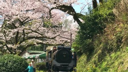 小田原城址公園こども遊園地の豆汽車と桜