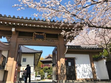 大船観音の山門と桜