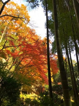 報国寺の紅葉と竹林