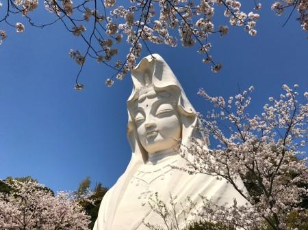 大船観音と桜