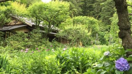 鎌倉 東慶寺の菖蒲