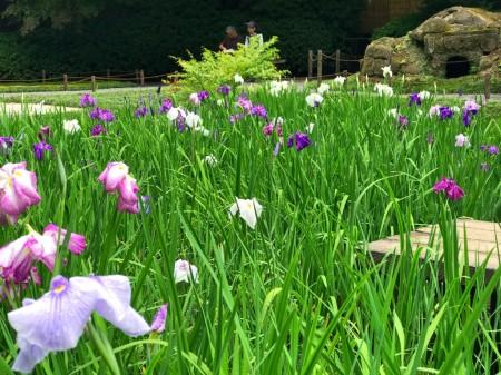 明月院の庭園の菖蒲
