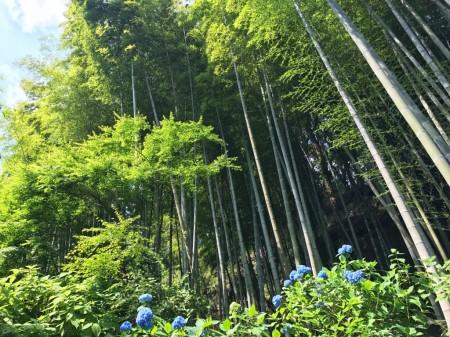 明月院のあじさいと竹林