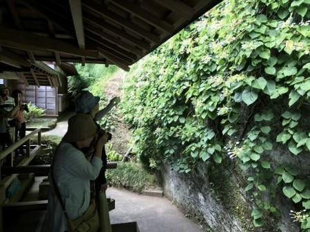 鎌倉 東慶寺の岩ガラミ2017