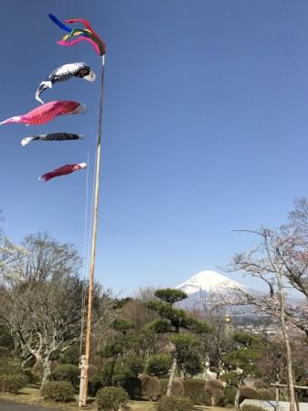 御殿場平和公園の桜と富士山と鯉のぼり