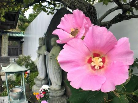 長谷寺のピンクのフヨウ