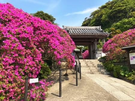 鎌倉 安養院のツツジ